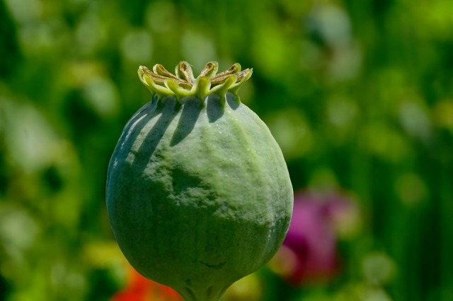 poppy-capsule#